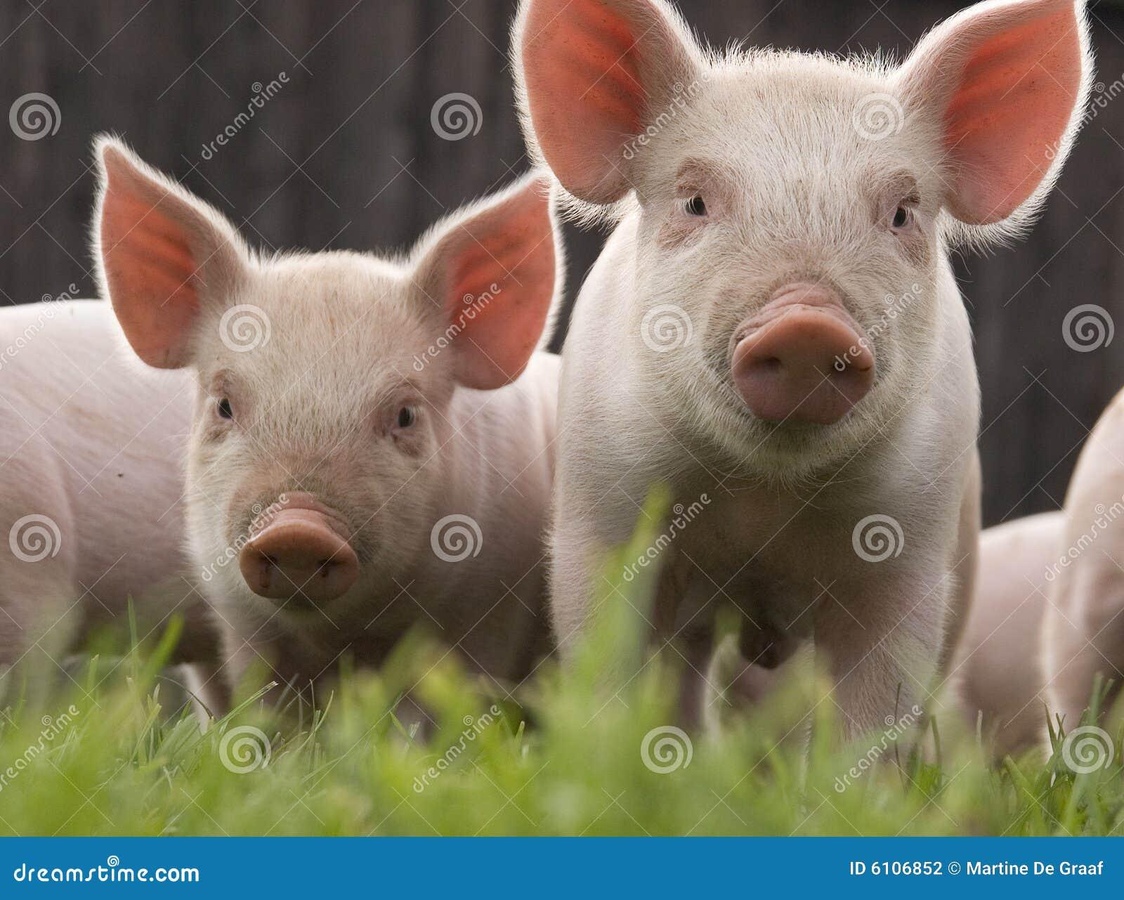 Due porcellini curiosi