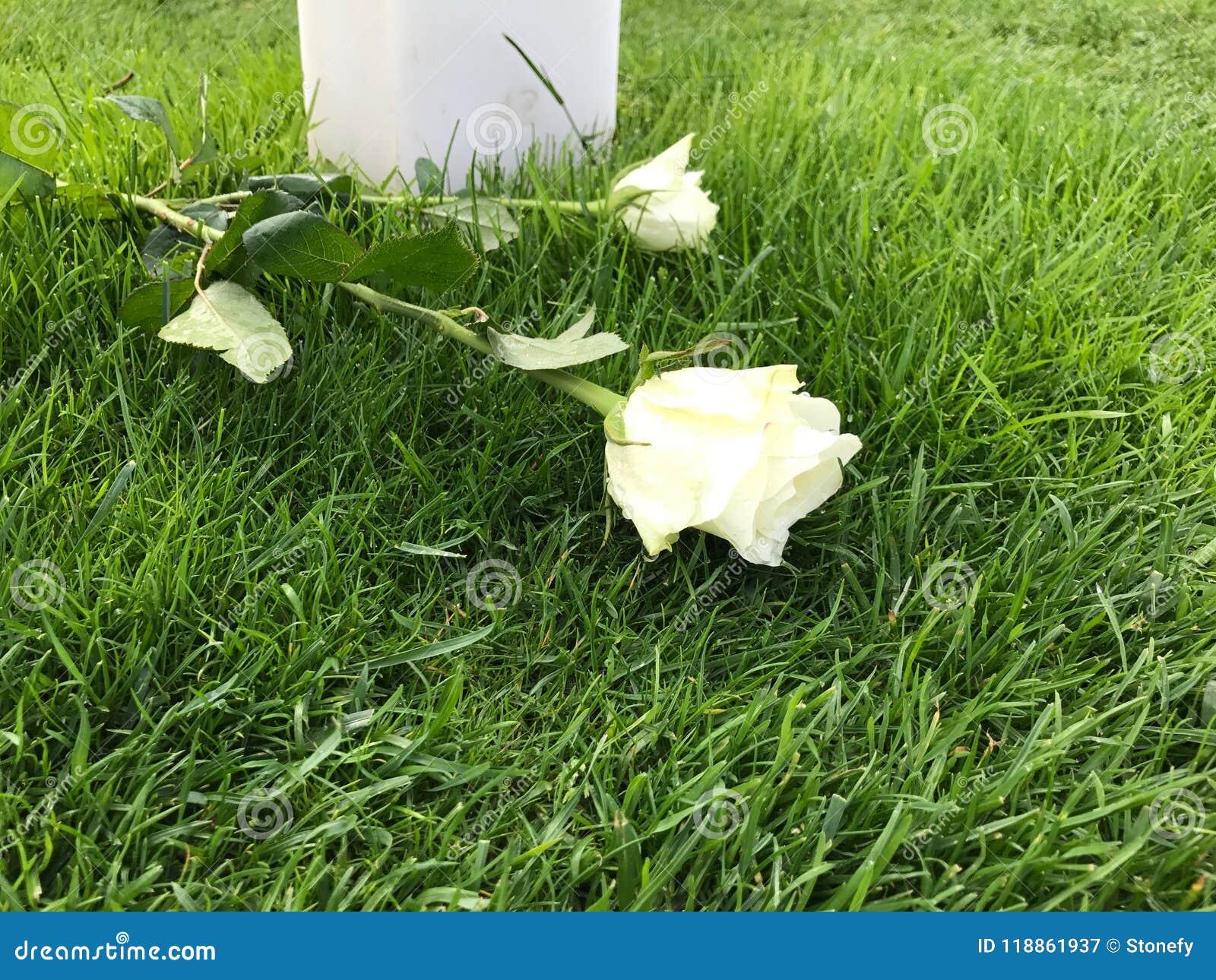 Due rose bianche su terra