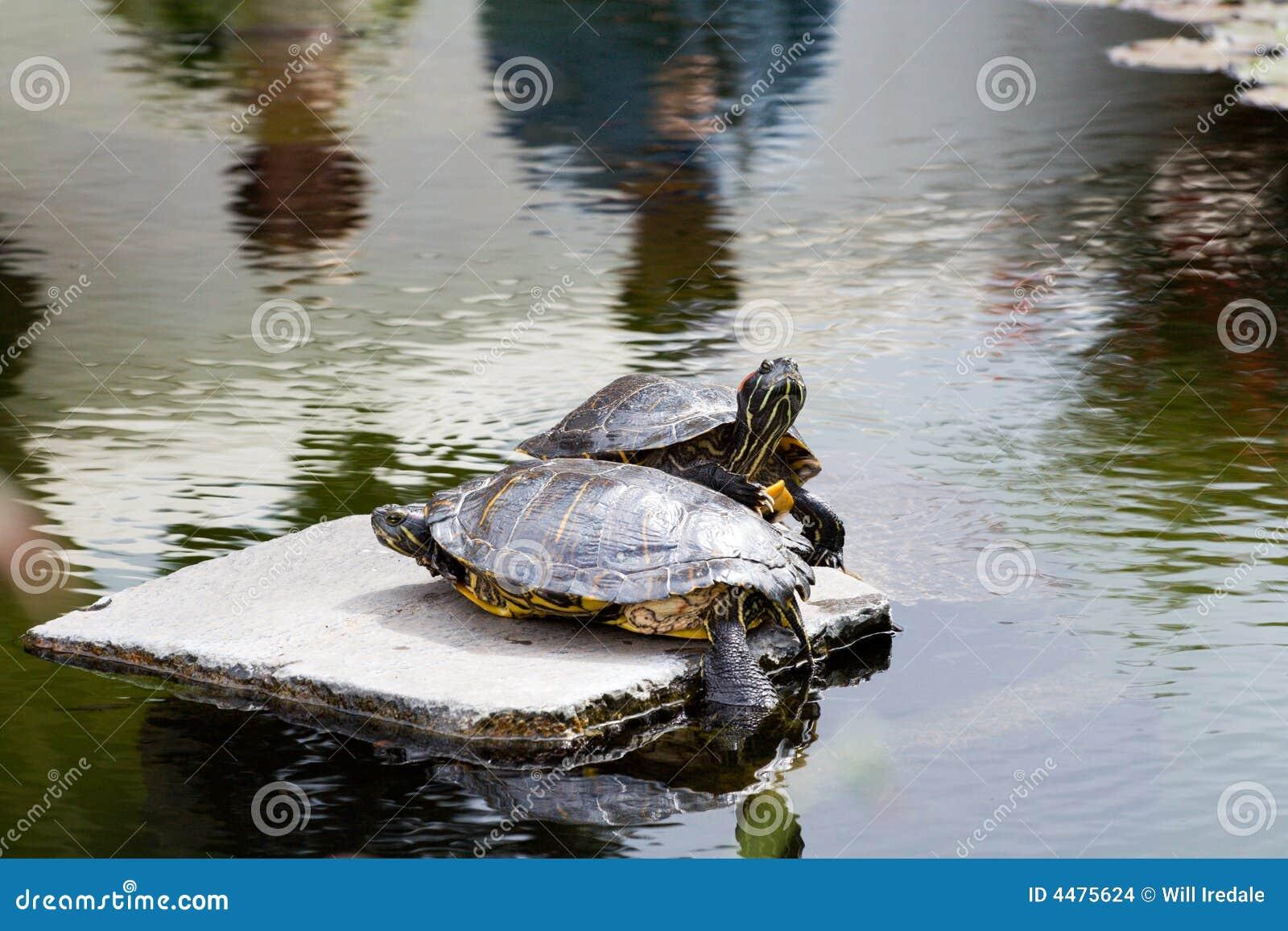 Due tartarughe d 39 acqua dolce su una roccia fotografia for Lago per tartarughe