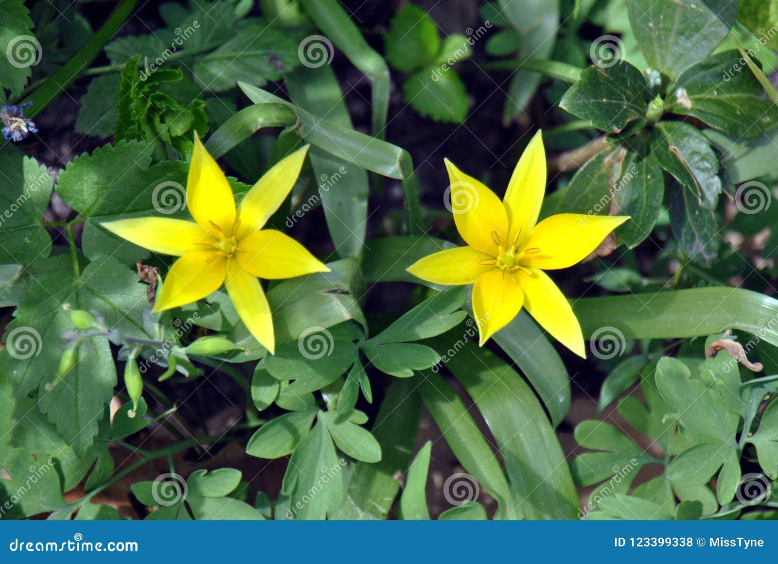 Fiore Giallo 6 Petali.Due Tulipani Gialli Con Sei Petali Hanno Modellato Come Una Stella
