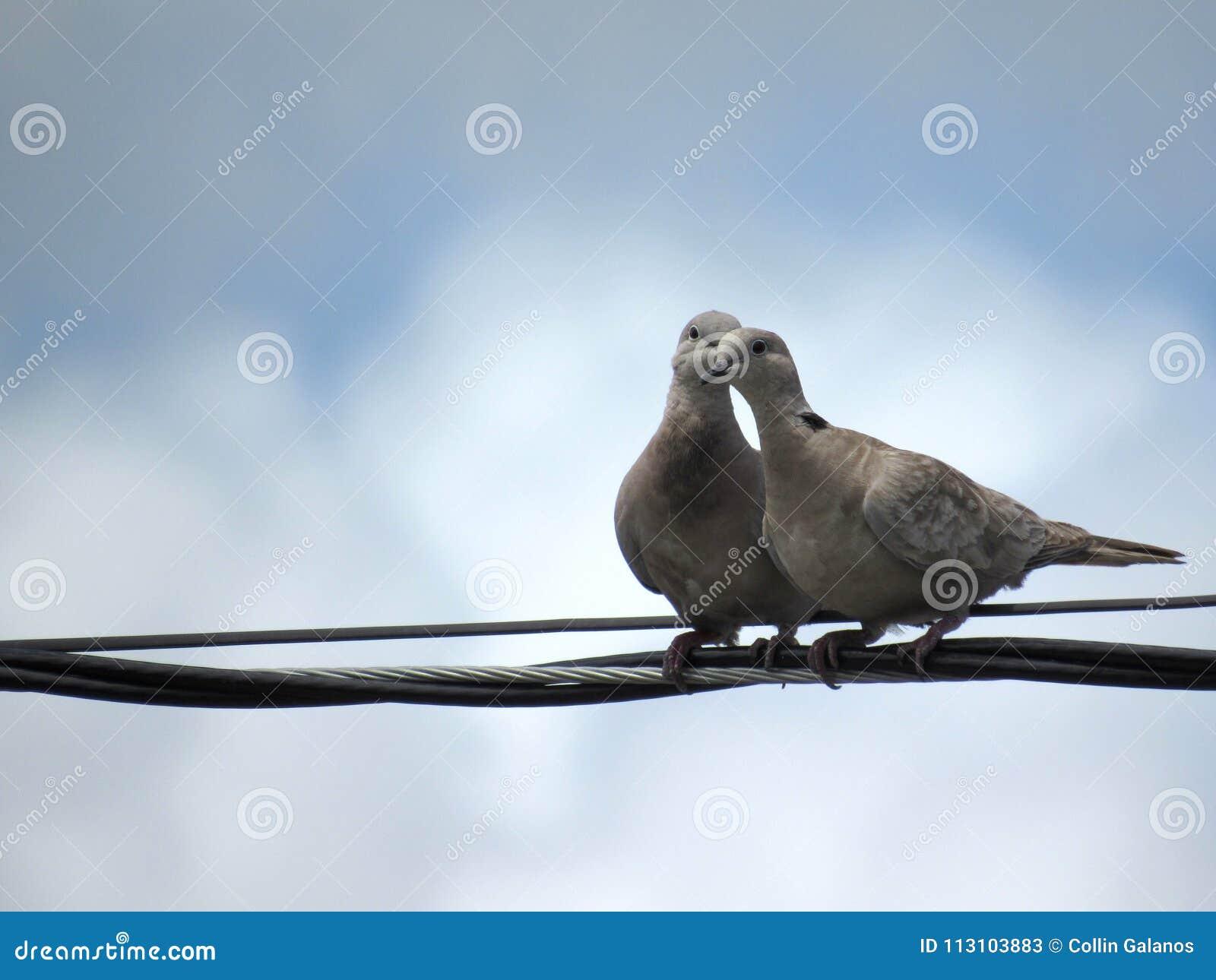 Due uccelli romantici che mettono insieme su una linea del cavo