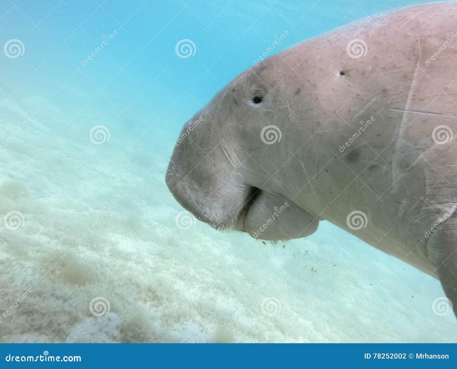 Dugong dugon Η αγελάδα θάλασσας
