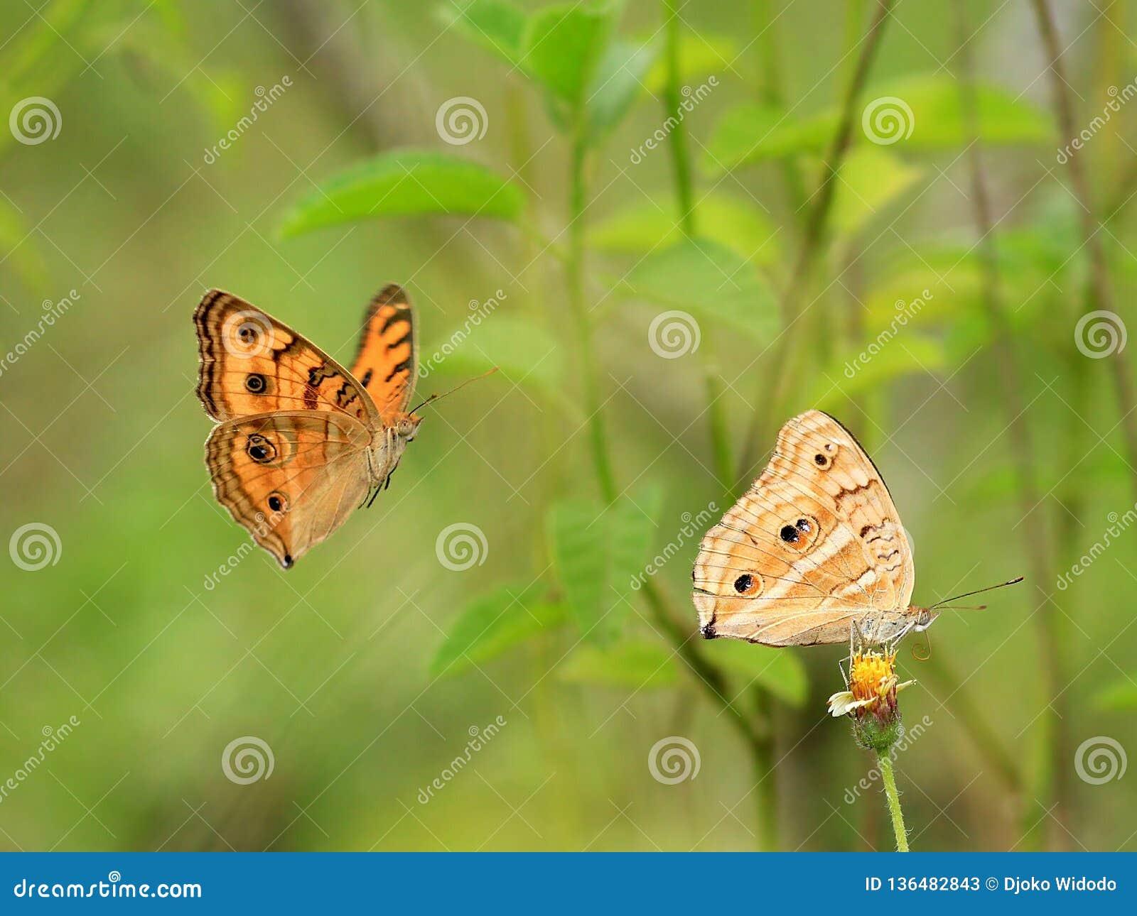Duidelijke tijgervlinder