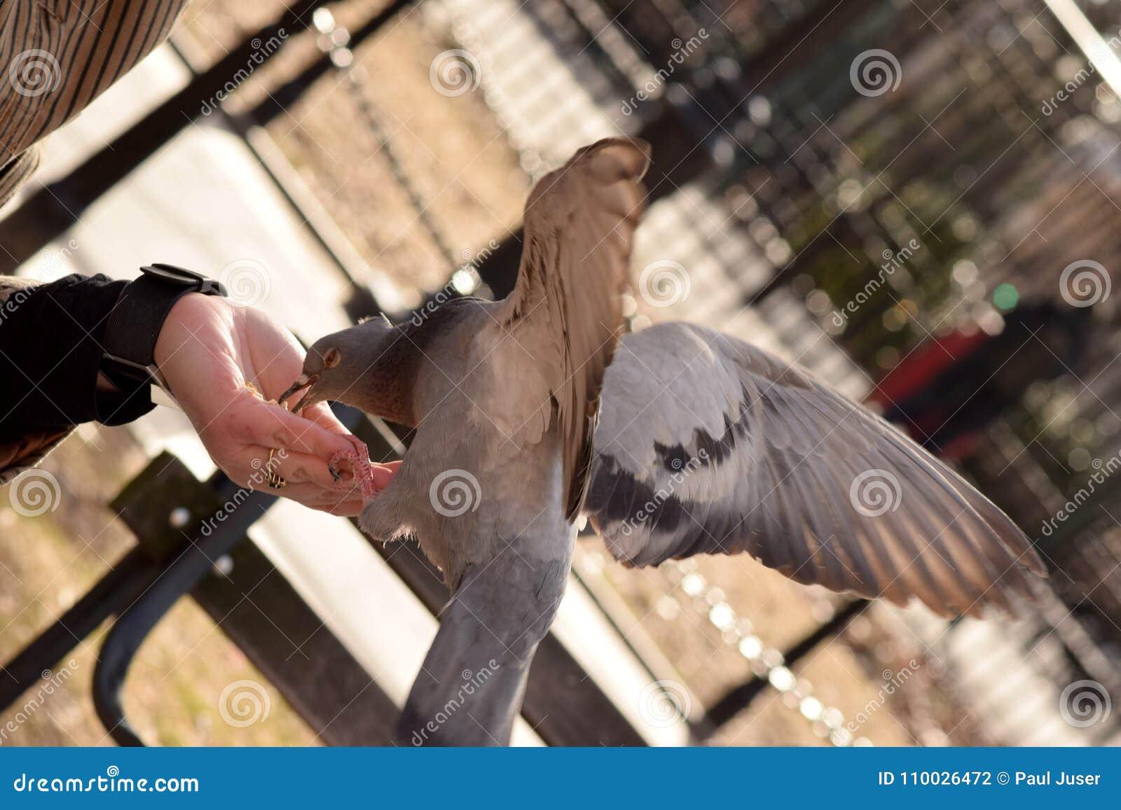 Duif die Graan van een Vrouwen` s Hand eten