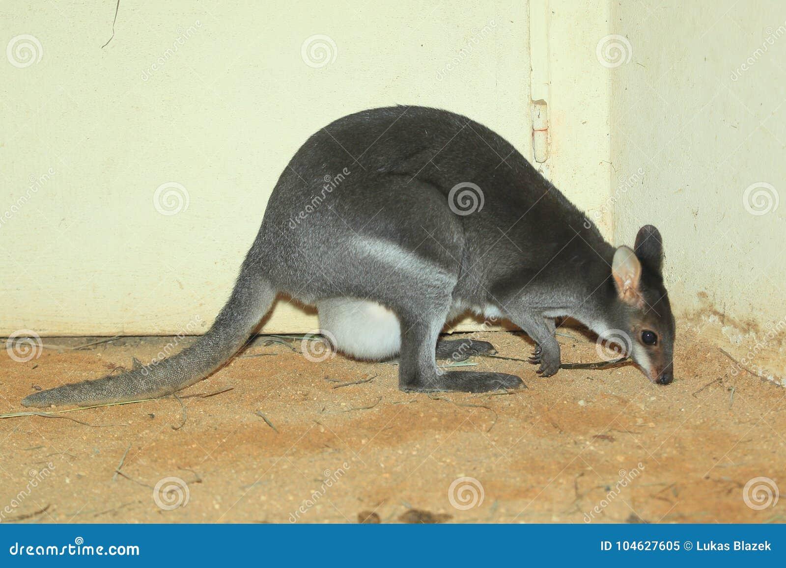 Download Duistere wallaby stock afbeelding. Afbeelding bestaande uit volwassen - 104627605