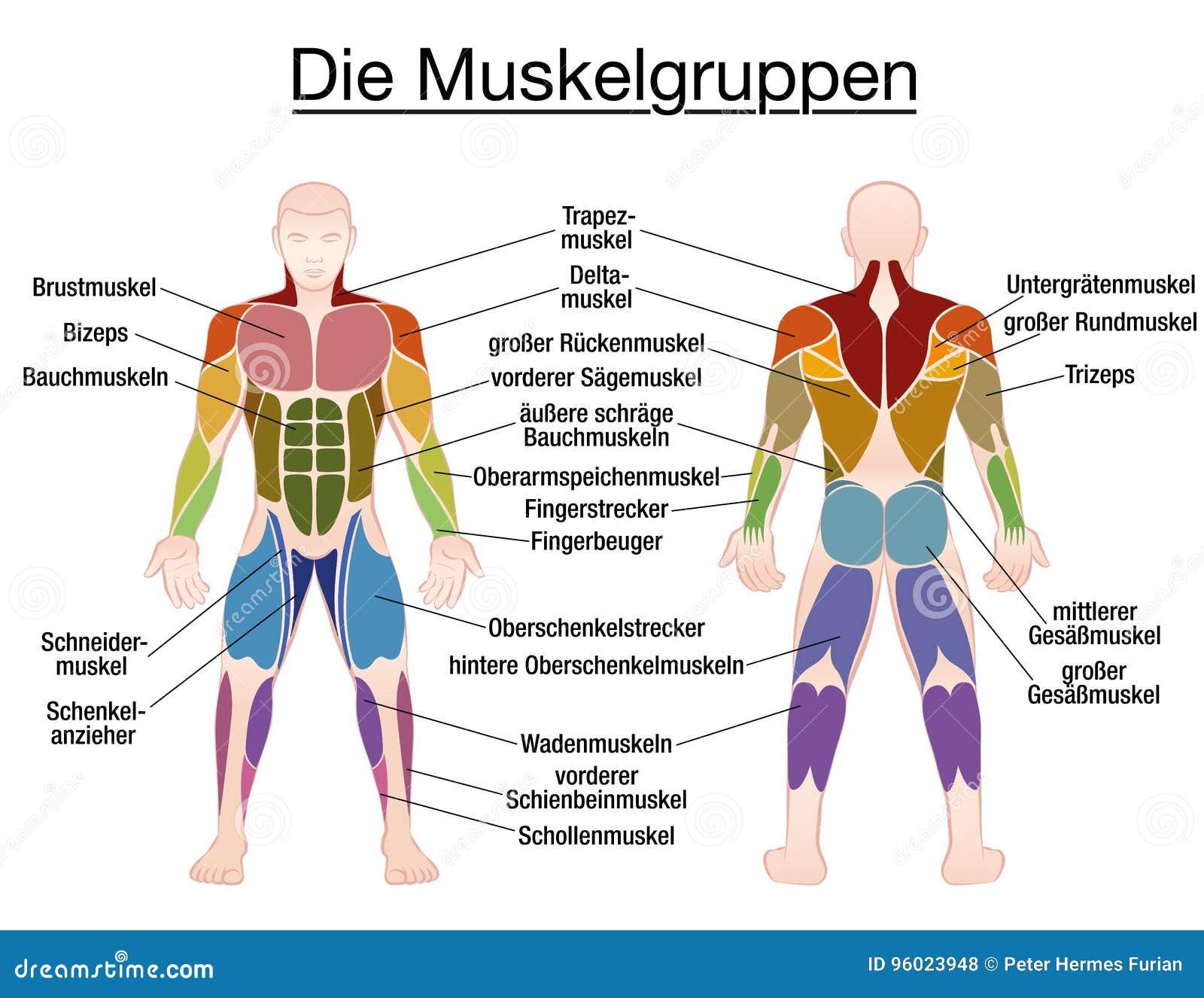 Charmant Trizeps Muskel Anatomie Ideen - Anatomie Von Menschlichen ...