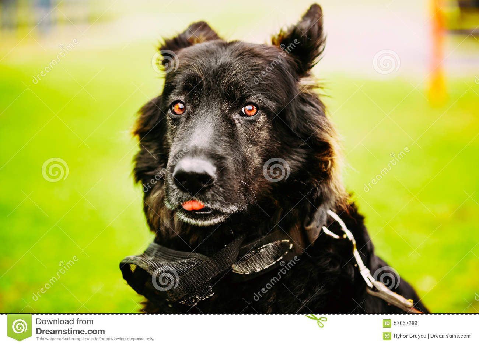Duitse herder Dog Close Up