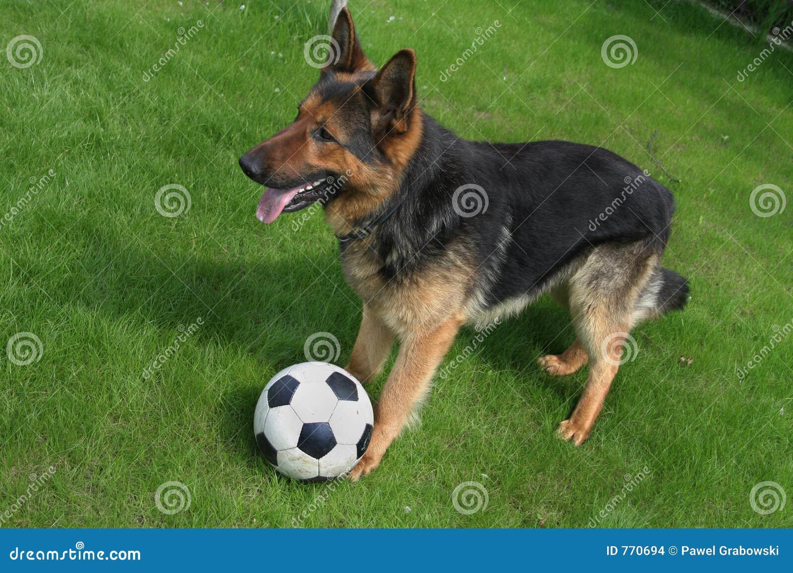 Duitse herder met een bal