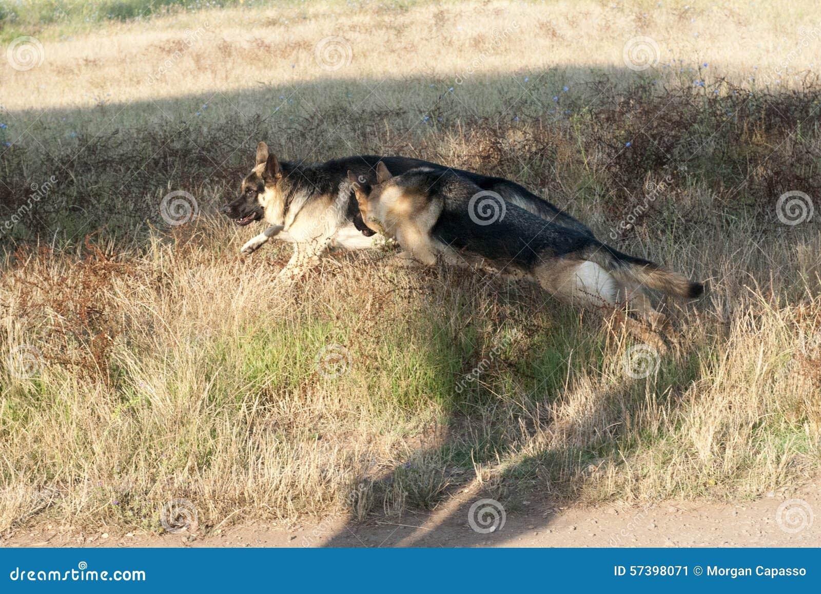 Duitse herders openlucht