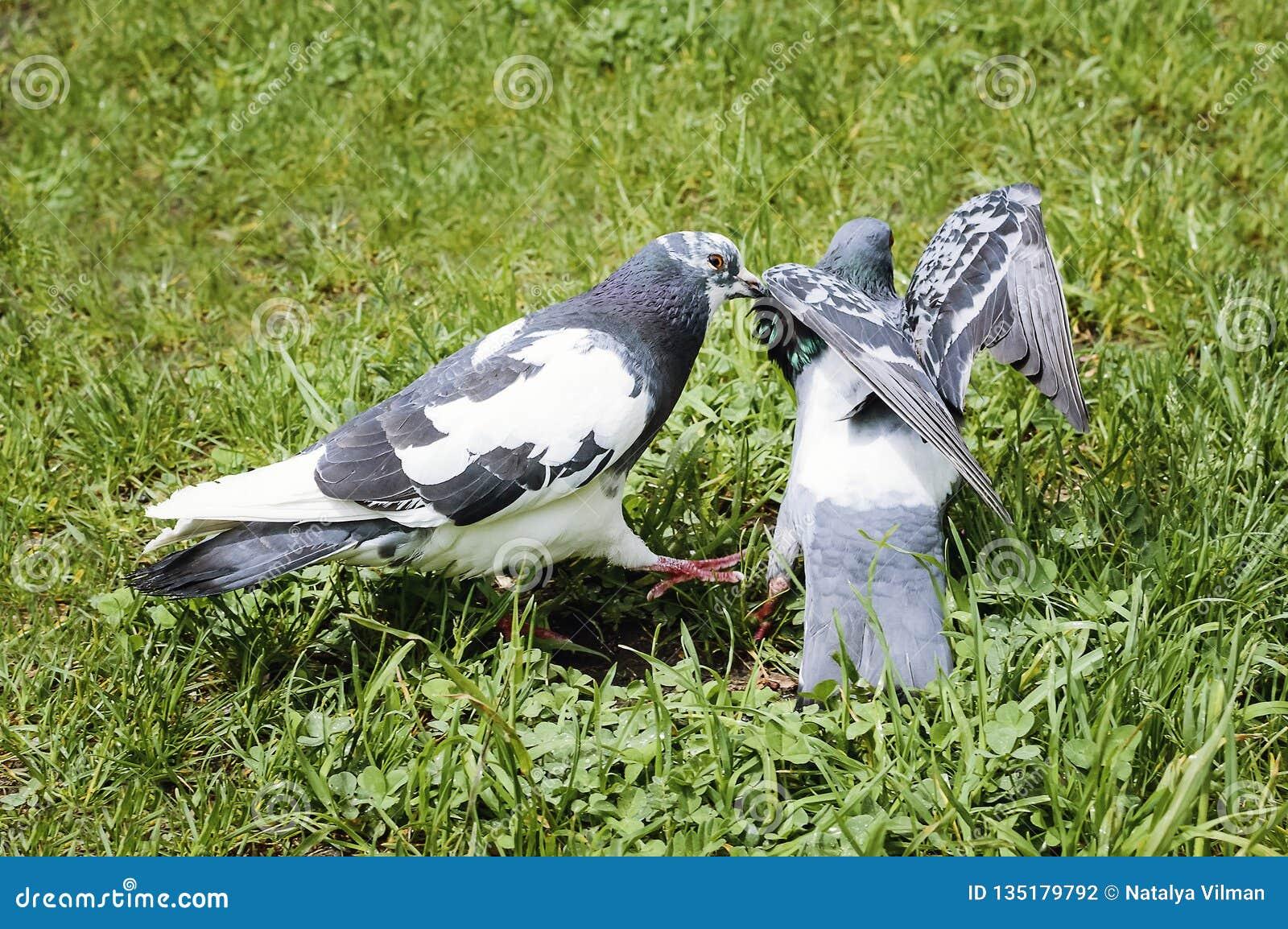 Duiven die en in het park op een de zomerdag kussen koppelen