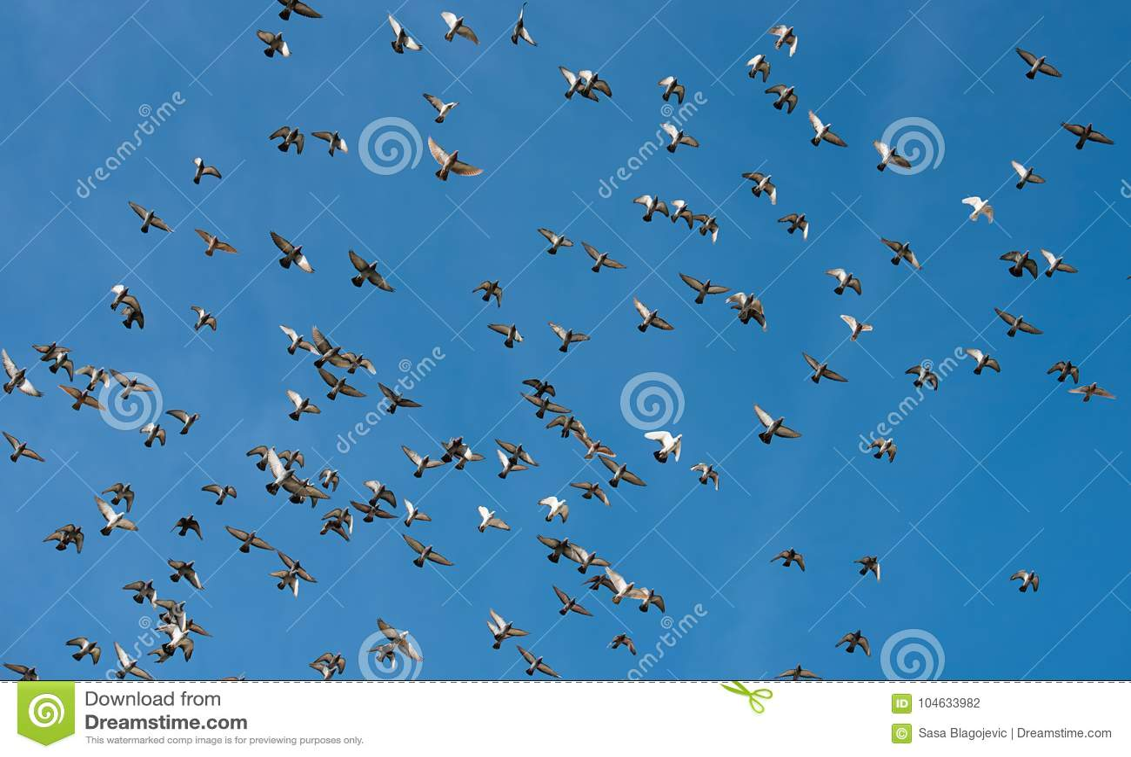 Download Duiven tijdens de vlucht stock foto. Afbeelding bestaande uit vogel - 104633982