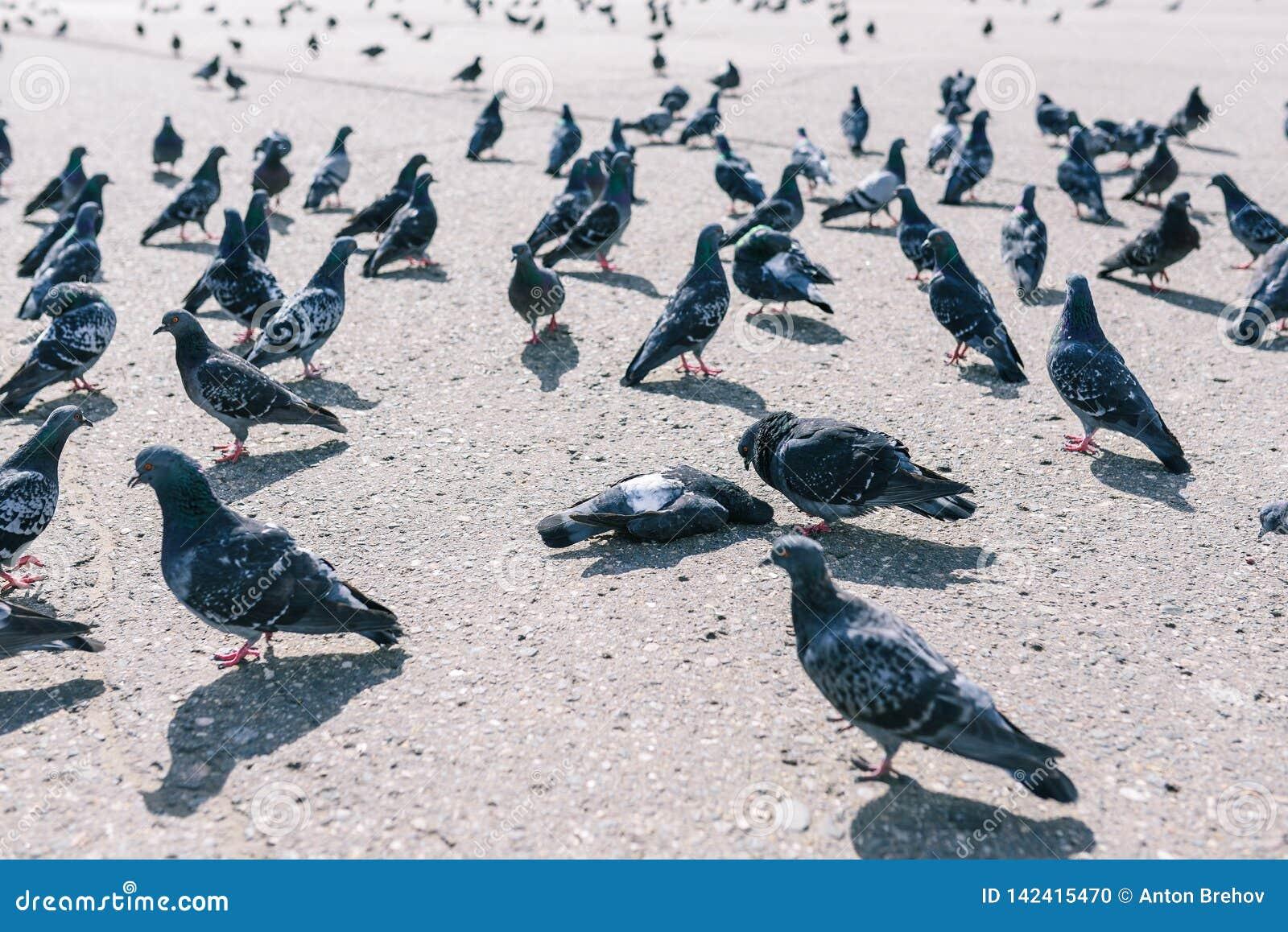 Duivengang rond een dode vogel Een troep van duiven op de straat Dode duif op asfalt