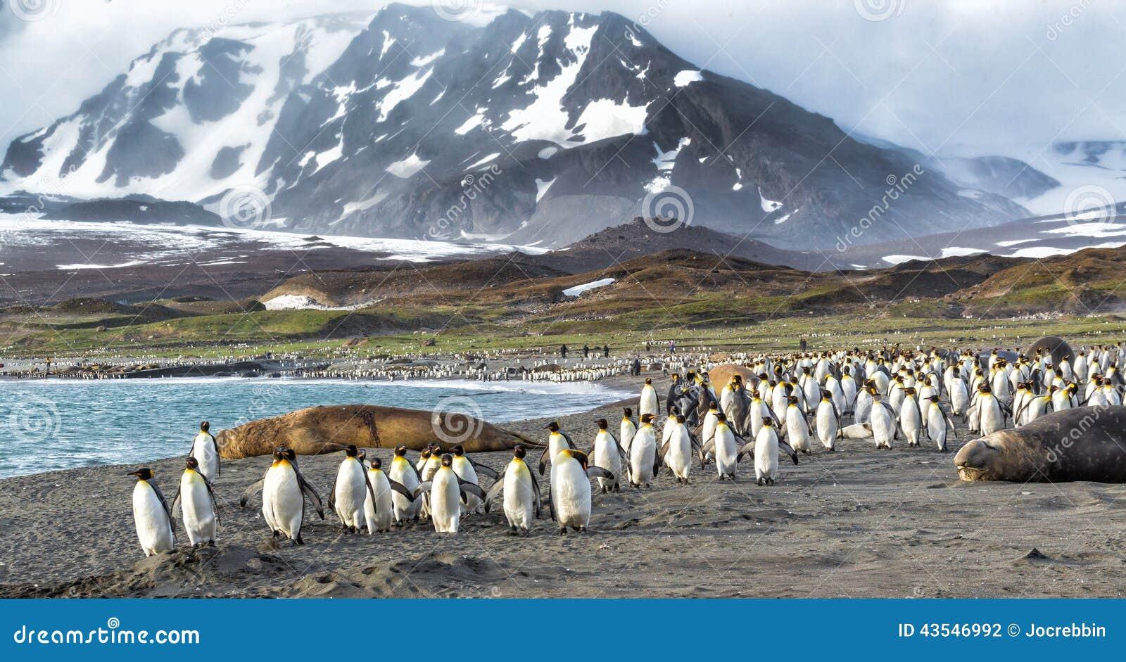Duizenden van Koning Penguins lopen van Kabaltic-winden in St Andrews Bay, Zuid-Georgië