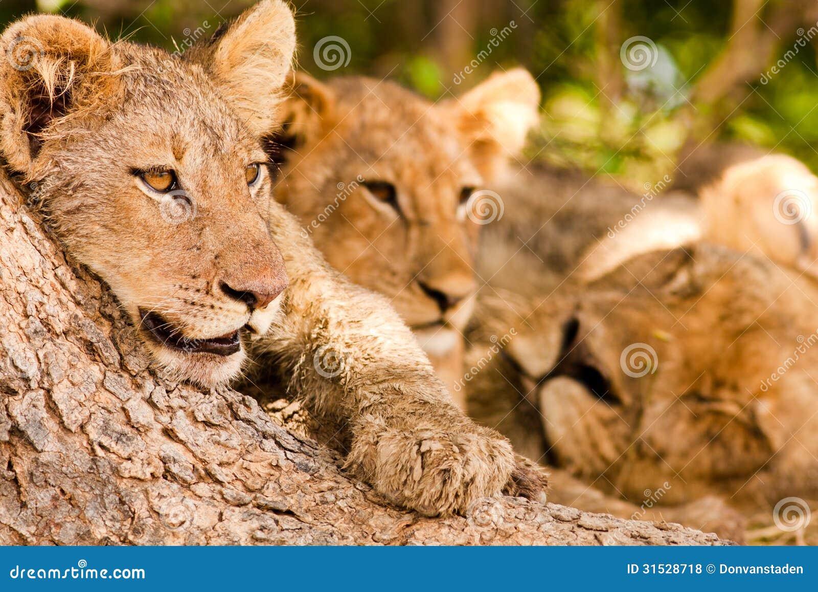 Duma lwy z ślicznym lwa lisiątkiem