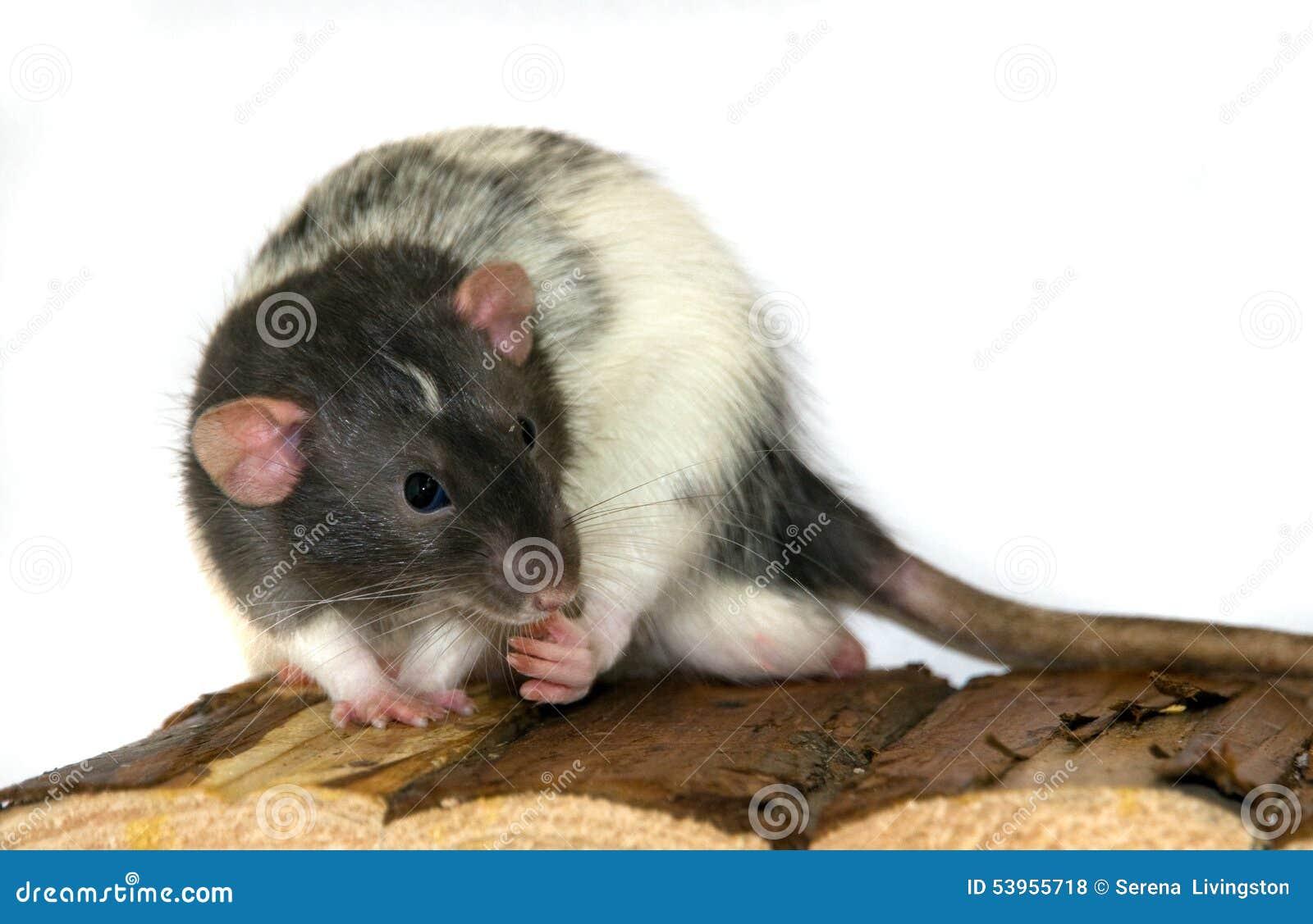 Dumbo szczur