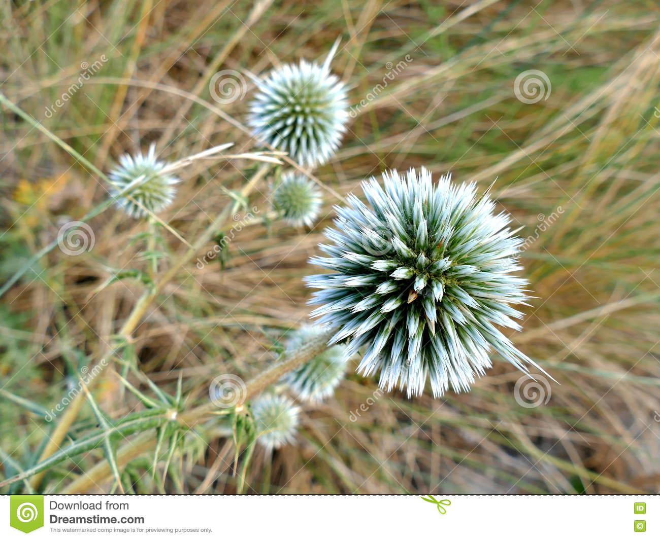 Dune Thistle Close Up With Defocused Background Stock Image Image