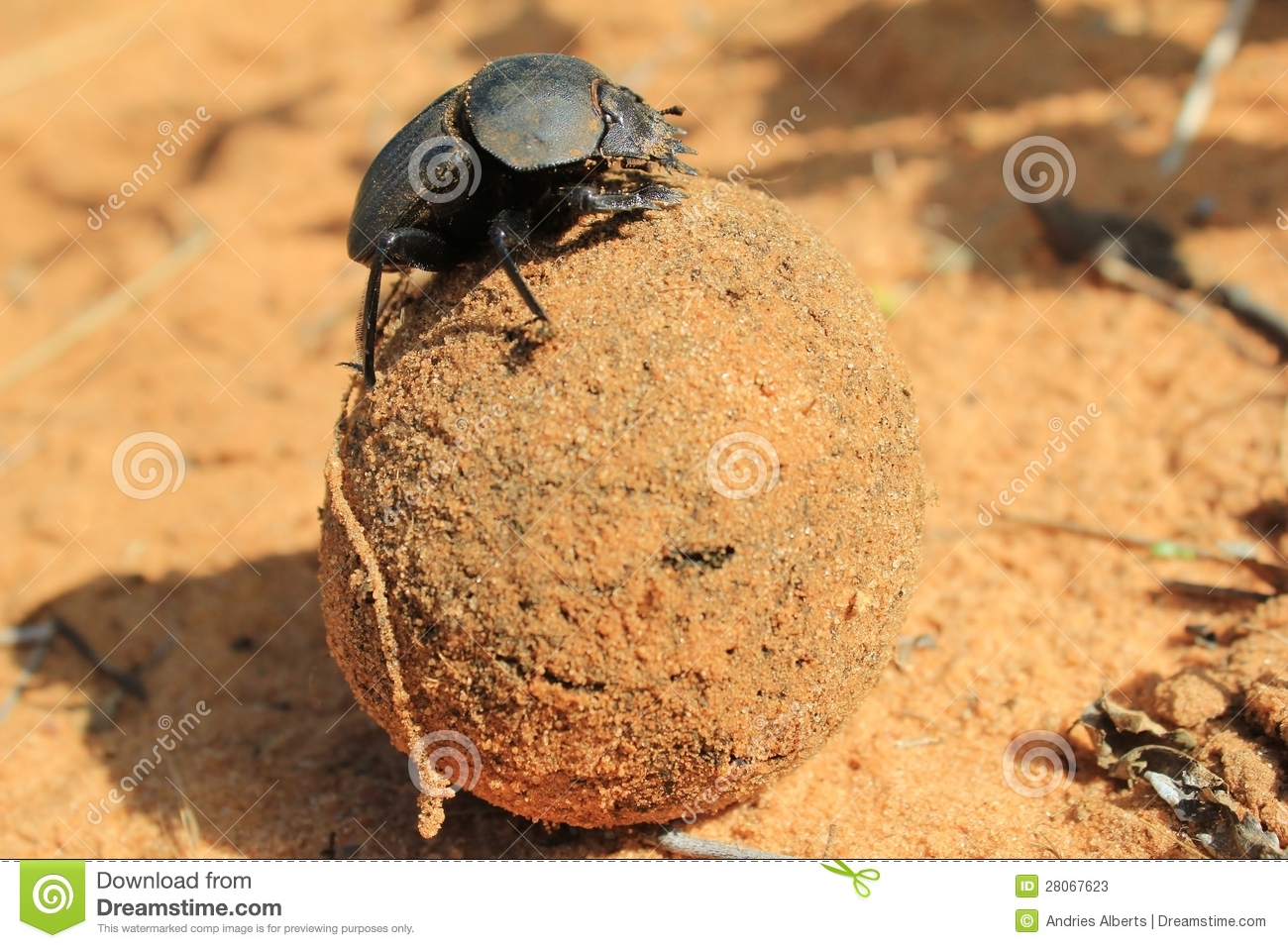 Dung Beetle, African Insect that Loves his Job