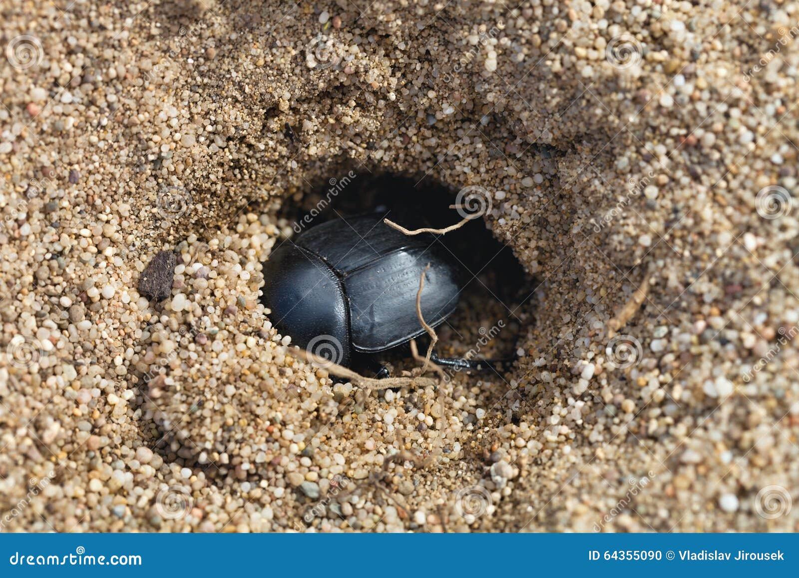 Dungbeetles w piasku, Sardinia, Włochy