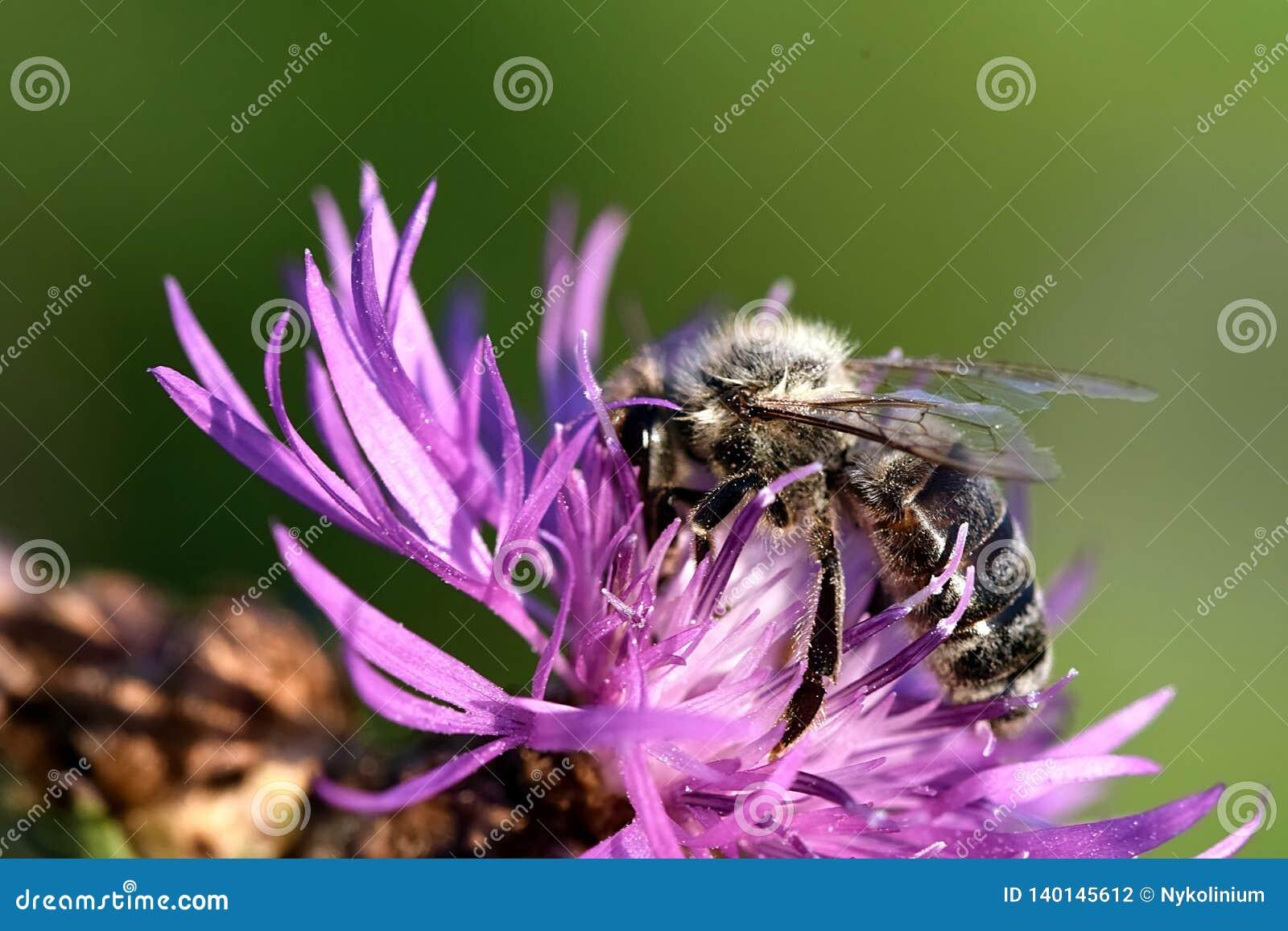 Dunkle Bienenbestäubung einer Blume