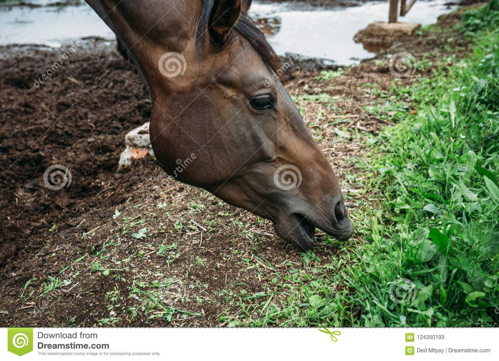 Dunkles Pferd essen das Heu oder Gras, die im Stift stehen oder zäunen im landwirtschaftlichen Bauernhof oder in der Ranch ein