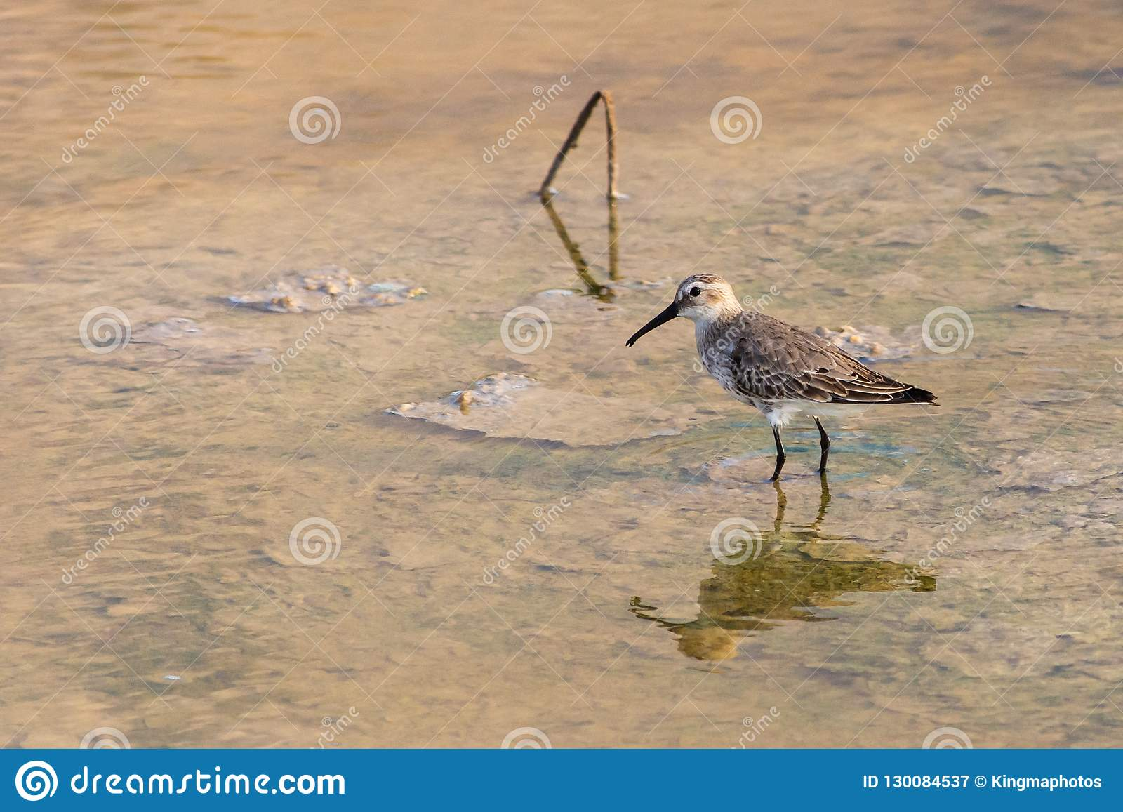 A Dunlin hunting in the shallow waters