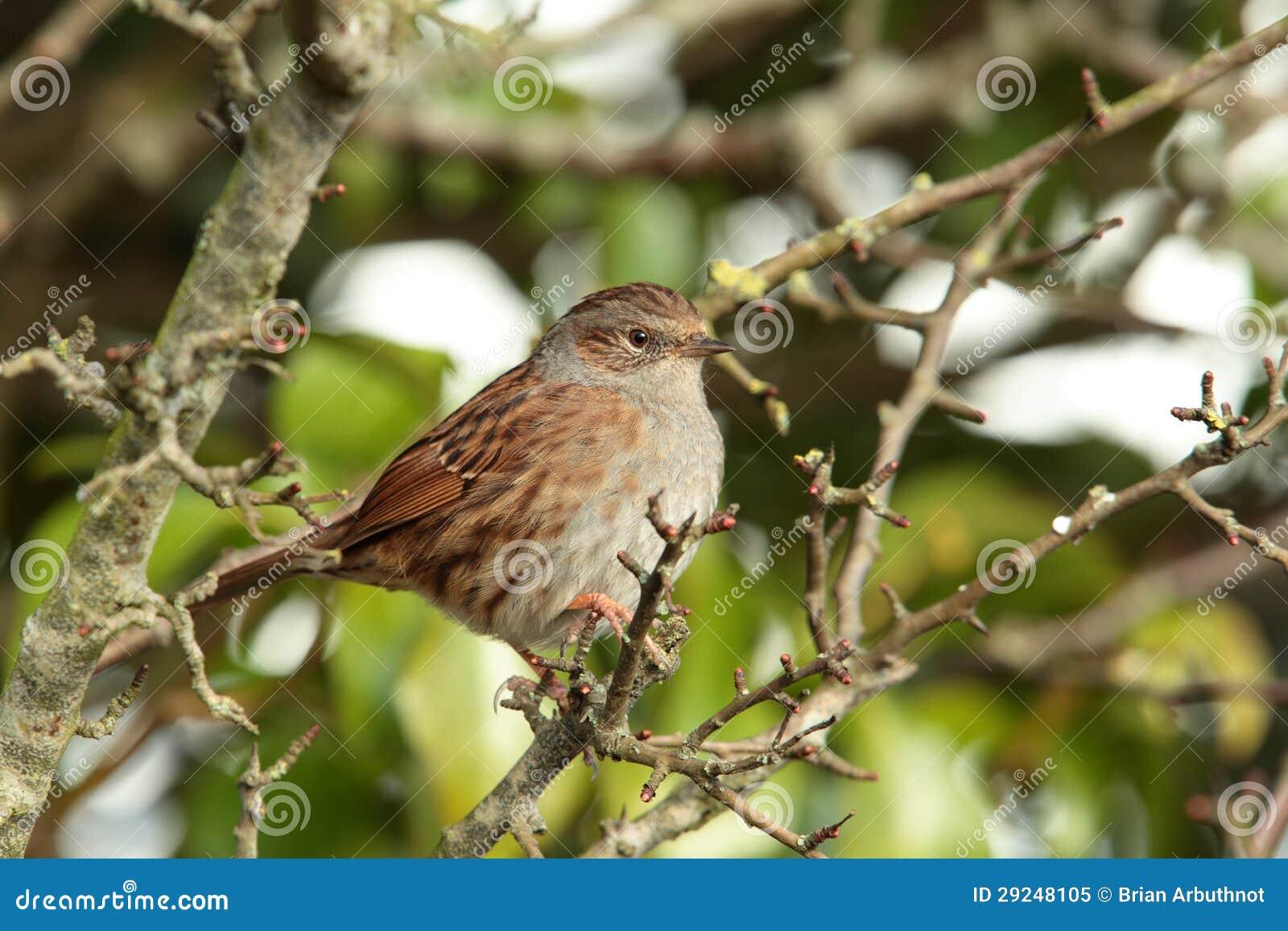 Download Dunnock. imagem de stock. Imagem de wildlife, pássaros - 29248105