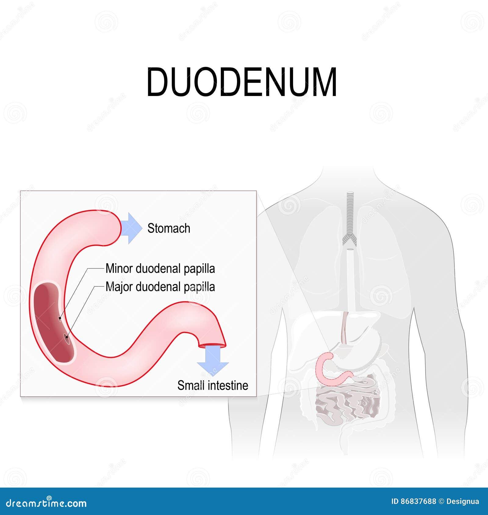 Duodenum stock vector. Illustration of duodenal, appendix - 86837688