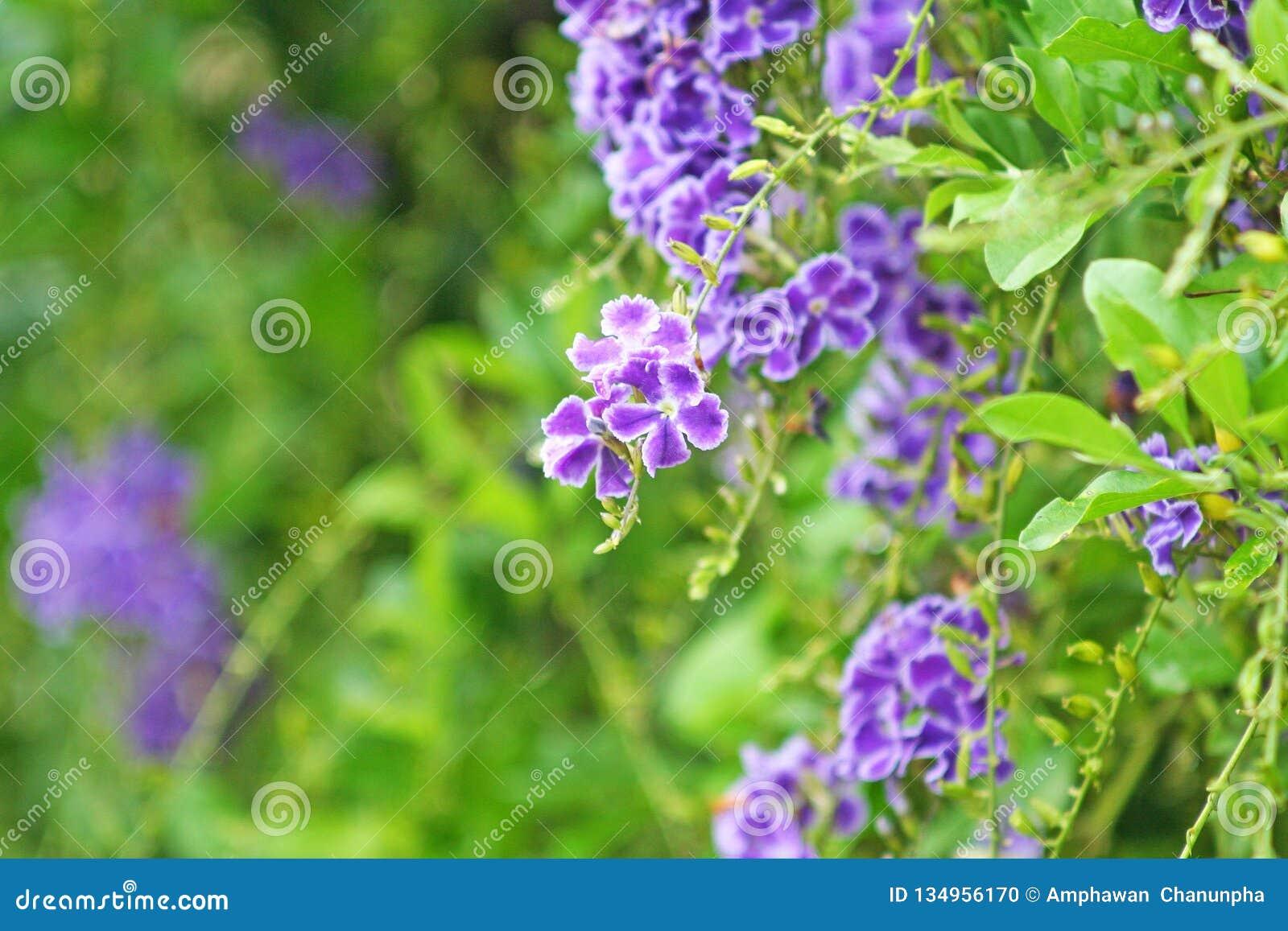 Duranta erecta fence tree,Purple flower blooming Sky flower