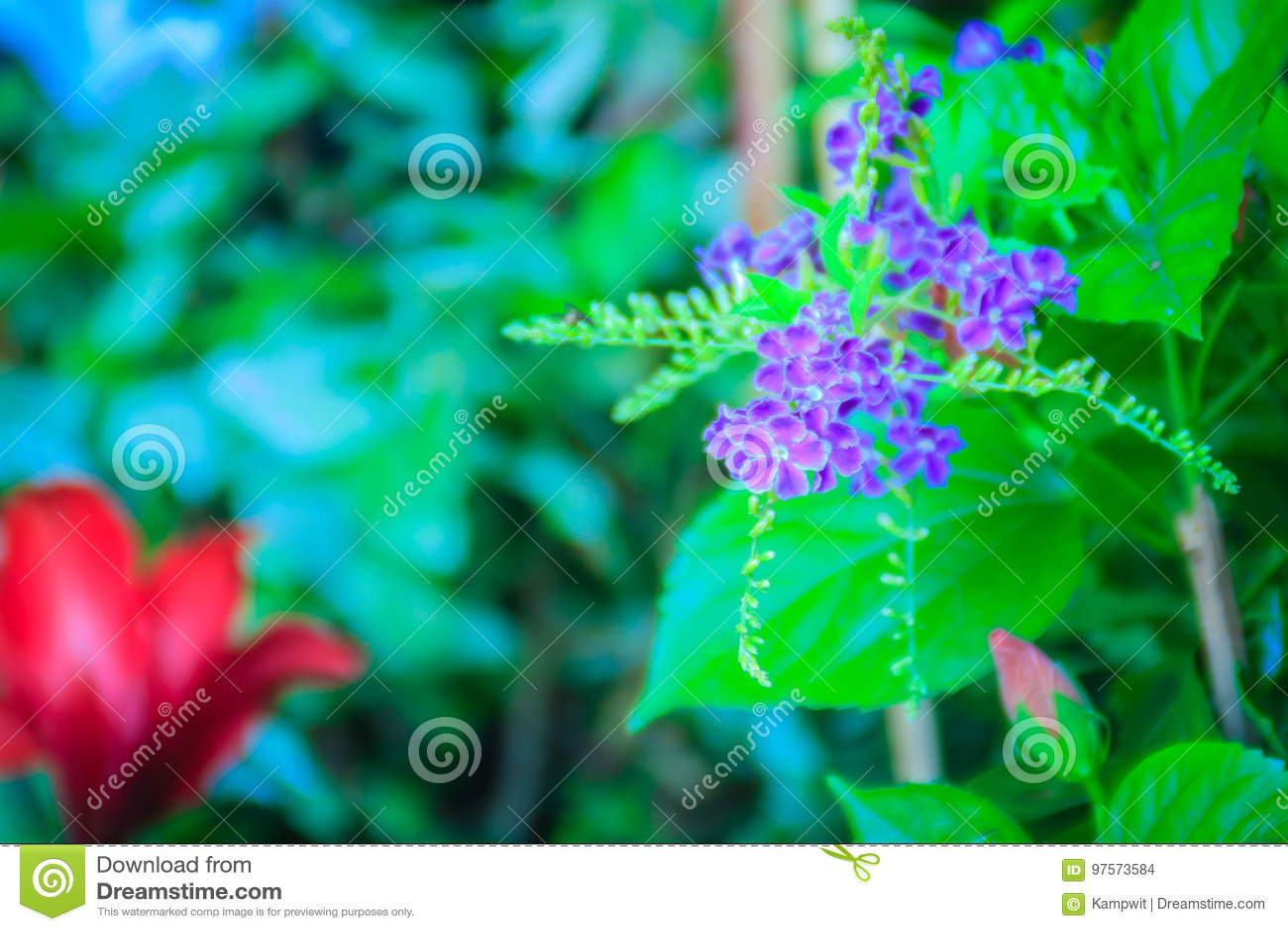Duranta Erecta Purple Flowers Between Red Flowers Common Names