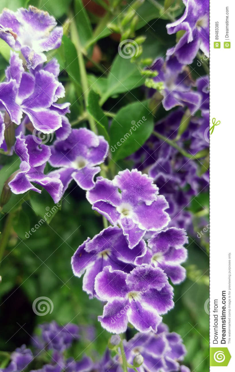 Duranta Violet Flowers Bush Flowered Detail Of Small Violet And