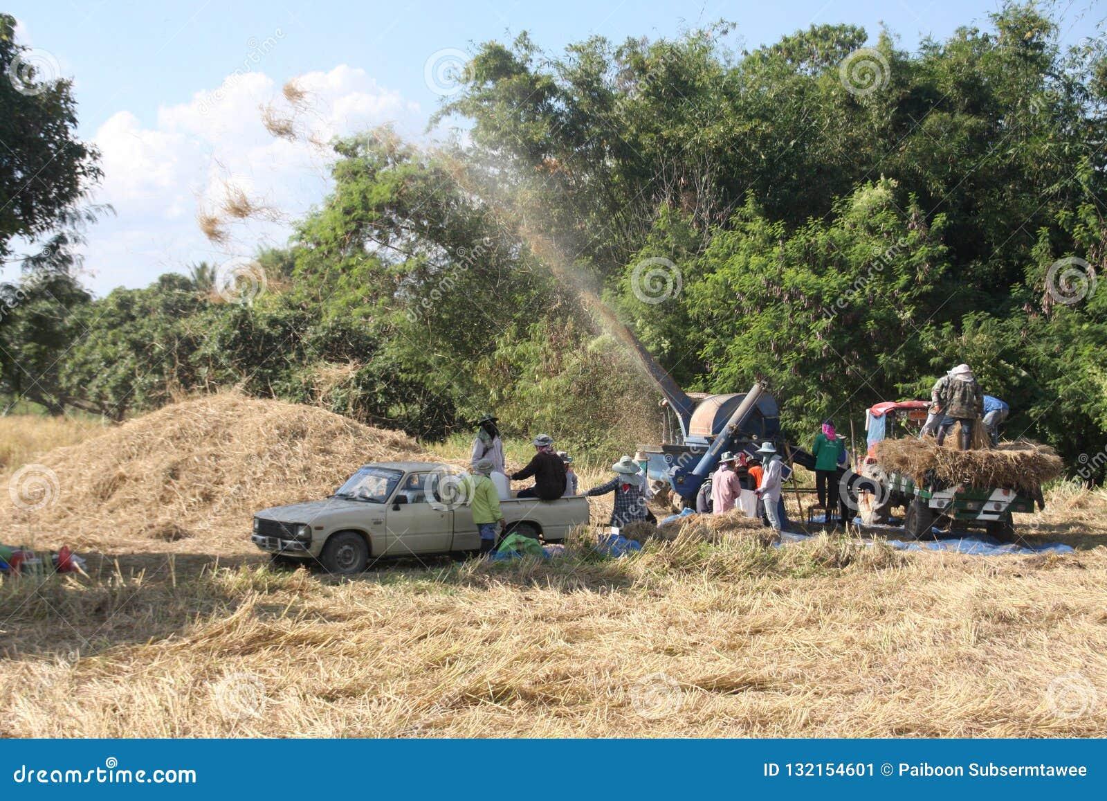 Durante la stagione del raccolto del riso