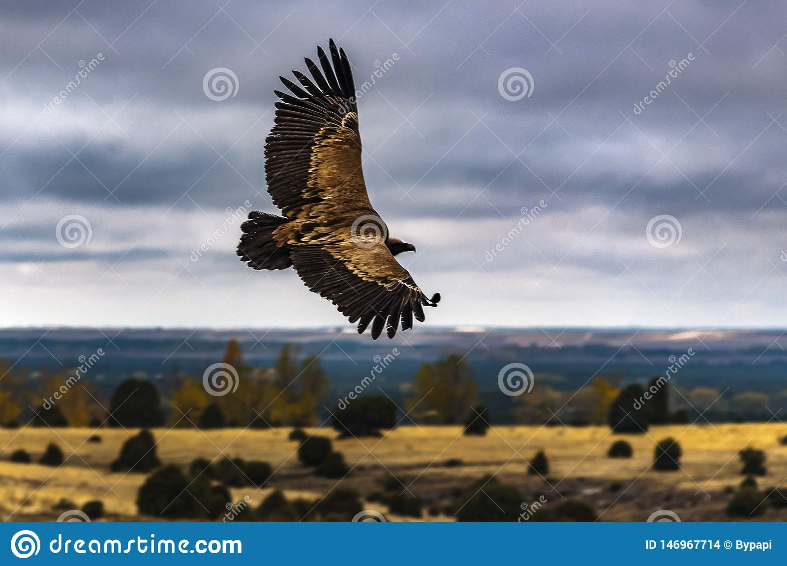 The flight of the king. Griffon vulture.