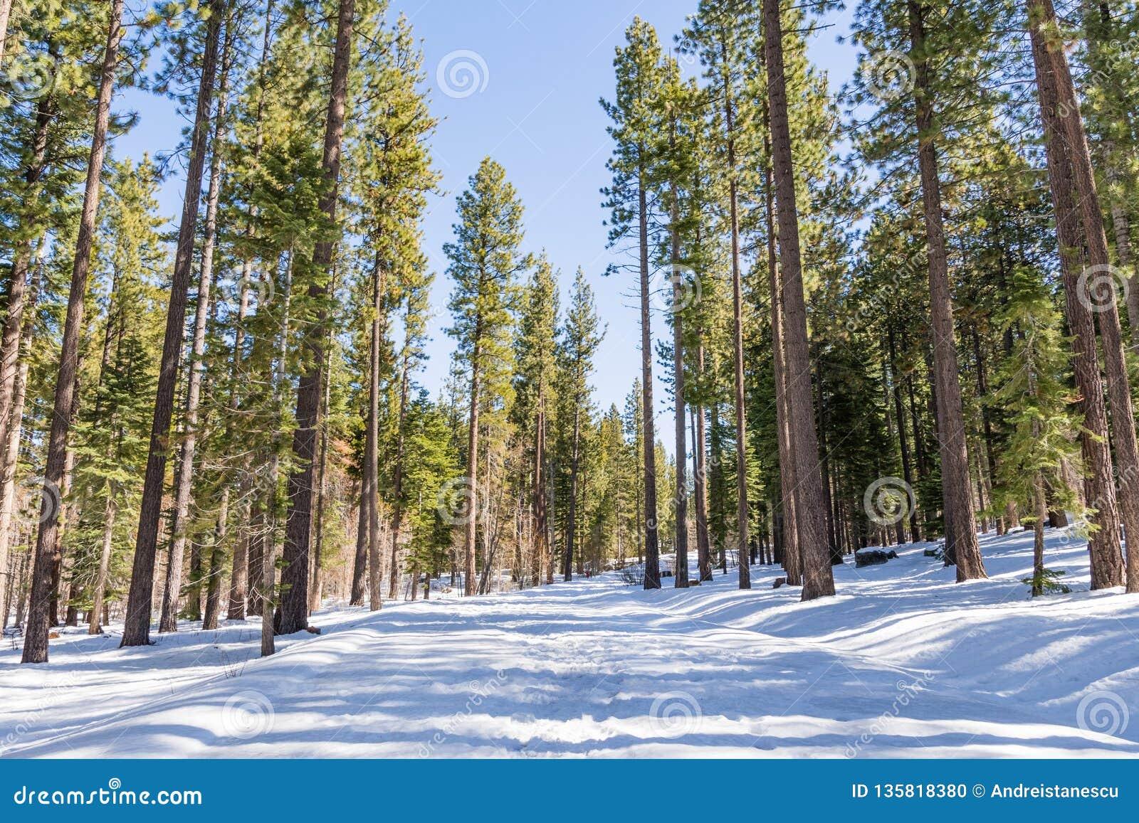 Durch einen immergrünen Wald an einem sonnigen Wintertag gehen, wenn der Schnee den Weg bedeckt, Van Sickle Bi-State Park; Süden