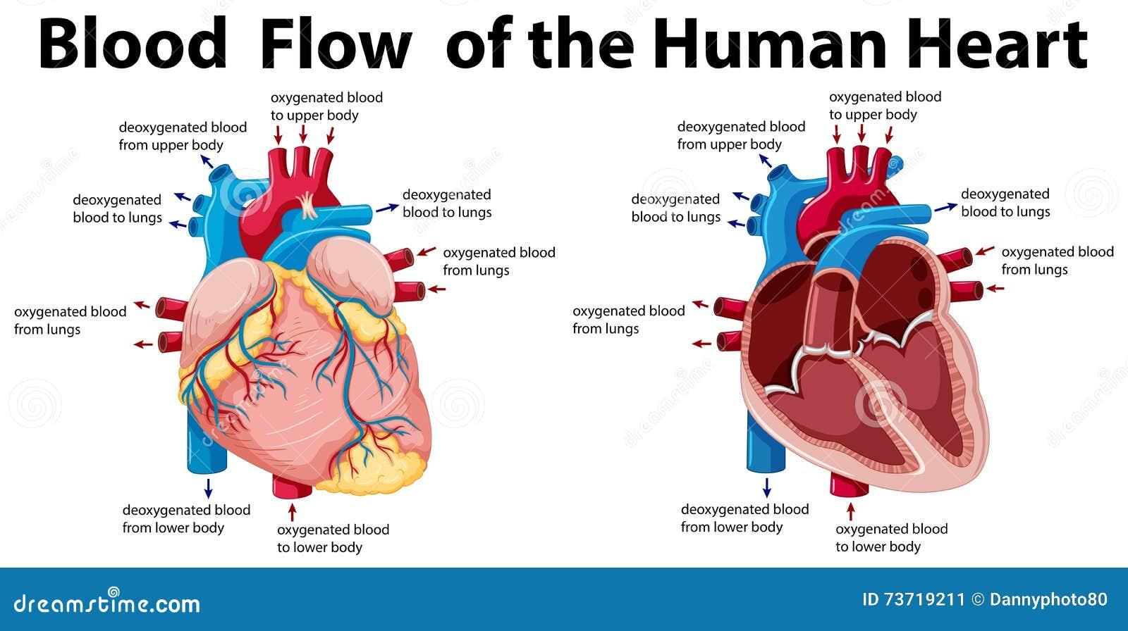 Durchblutung Des Menschlichen Herzens Vektor Abbildung ...