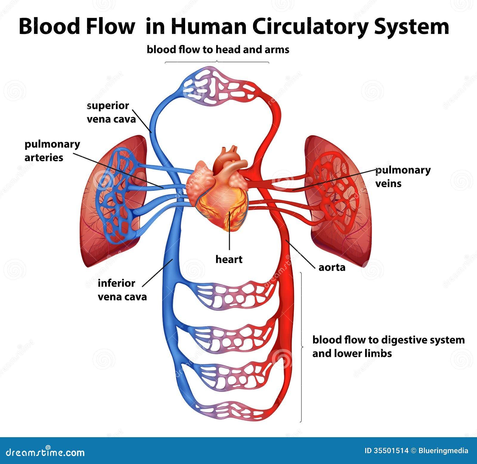 Ungewöhnlich Das Menschliche Kreislaufsystem Bilder - Physiologie ...