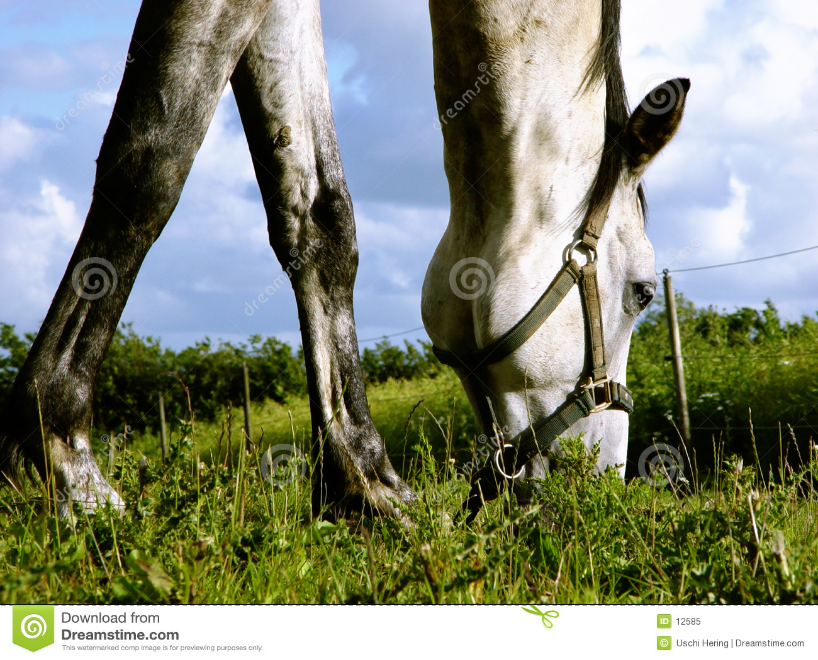 Durchstöbern des weißen Pferds