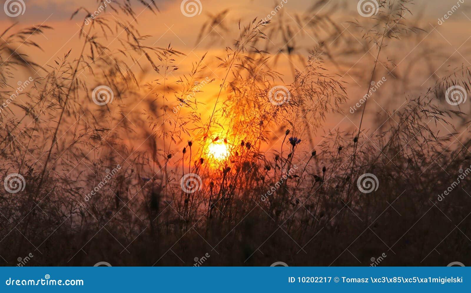 Dure la puesta del sol en campos del oro
