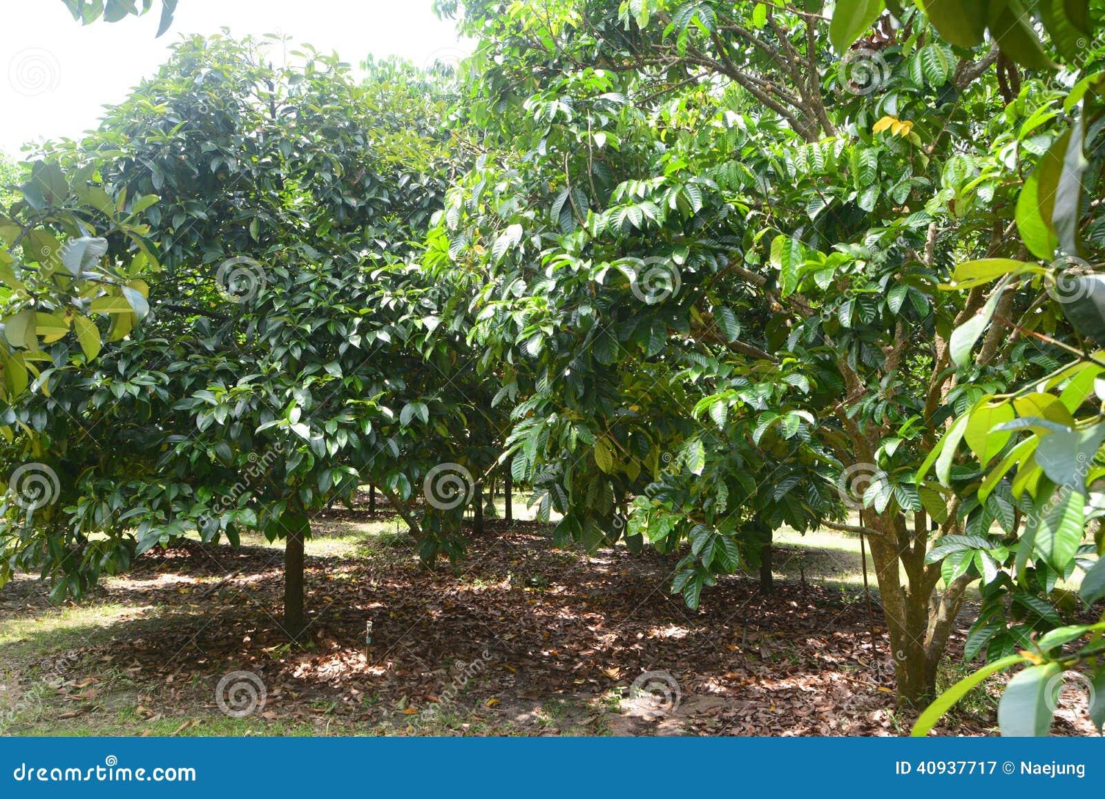 Durian drzewo