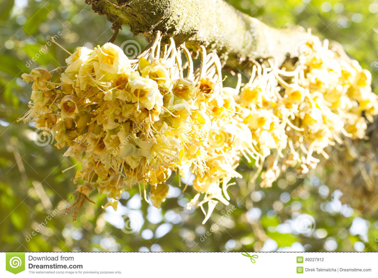 Durian Flowers Bud On Durian Tree Stock Photo - Image of