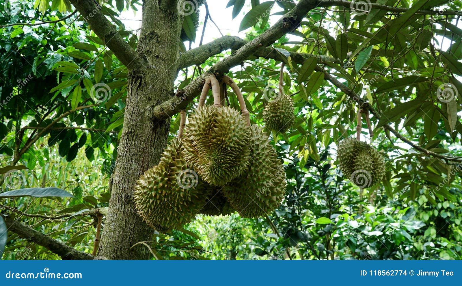 Durian na drzewie