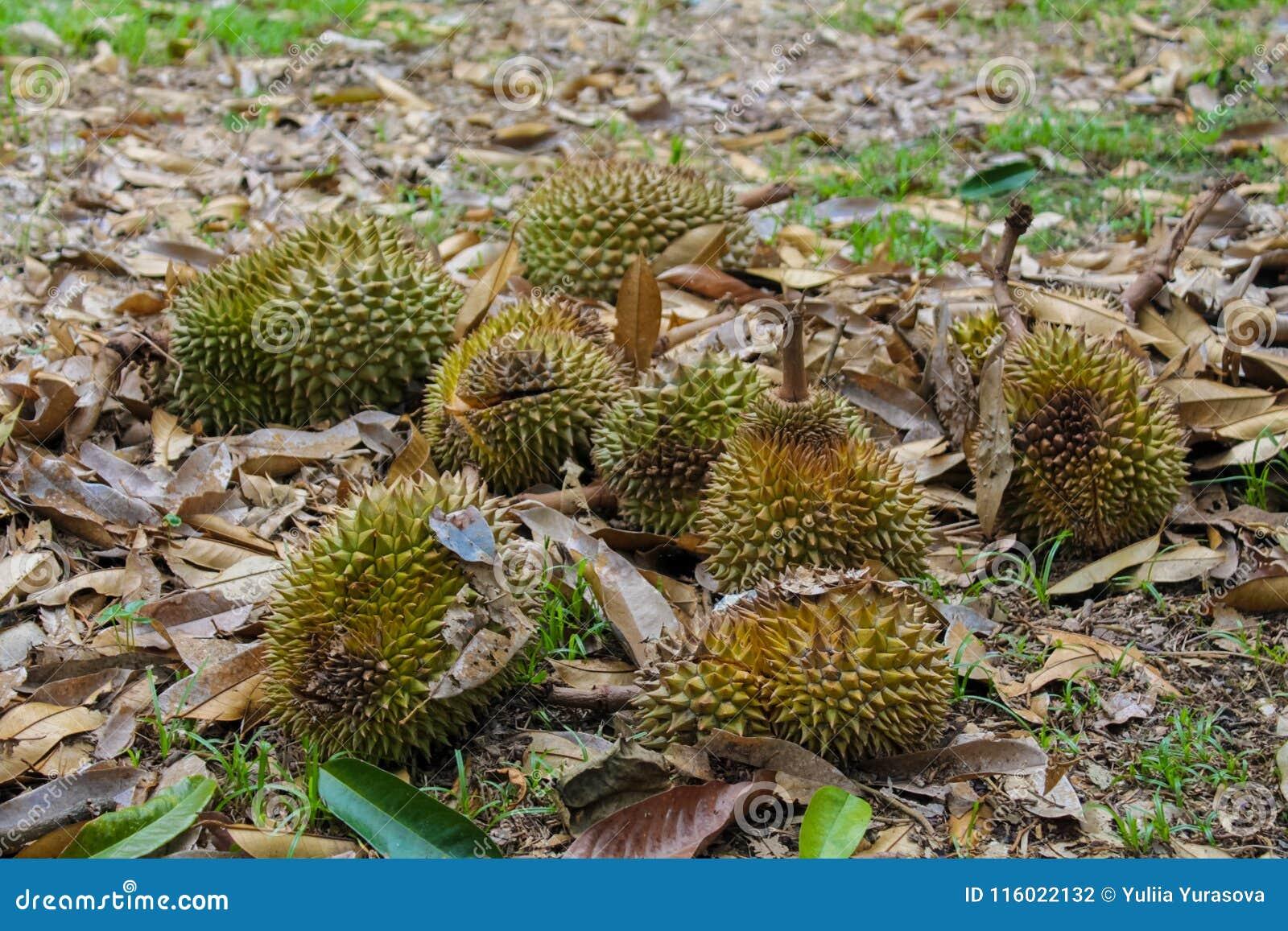 Durian owoc na ziemi pod drzewem w ogródzie