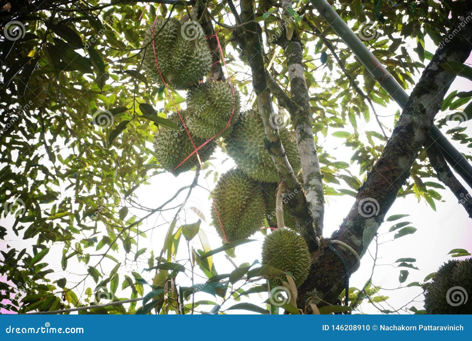 Durianfruit van Thailand