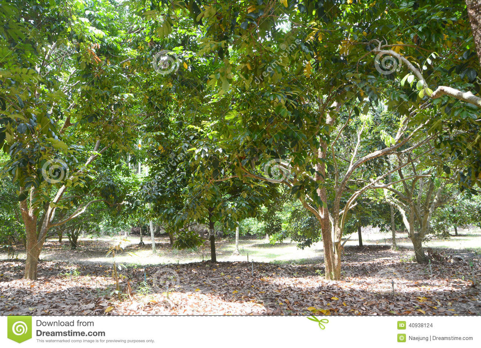 Durianträd
