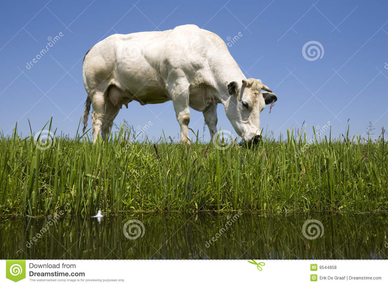 how to say cow in dutch