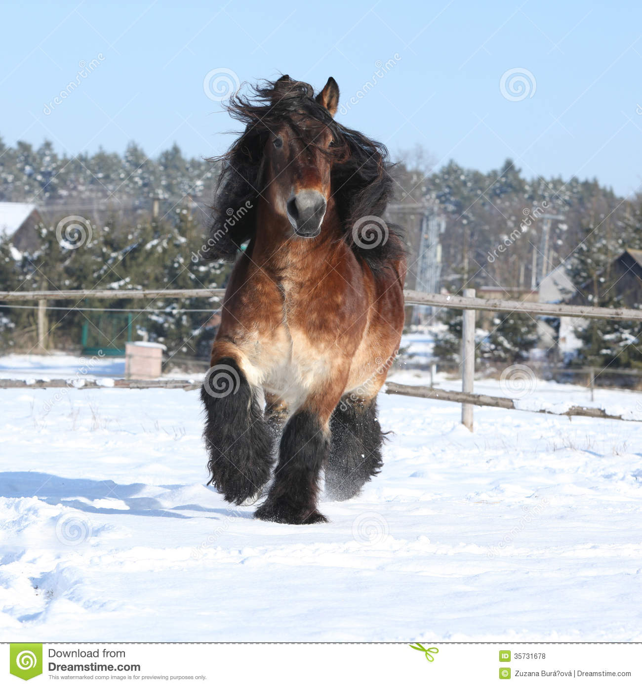 Dutch Draught Horse With Long Mane Running In Snow Stock Photo Image Of Gallop Slush 35731678