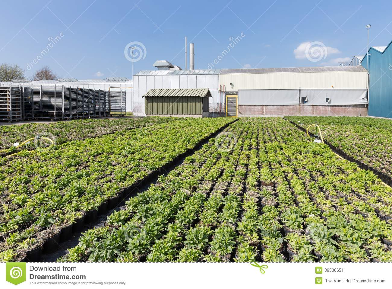 Dutch greenhouse with cultivation of plants