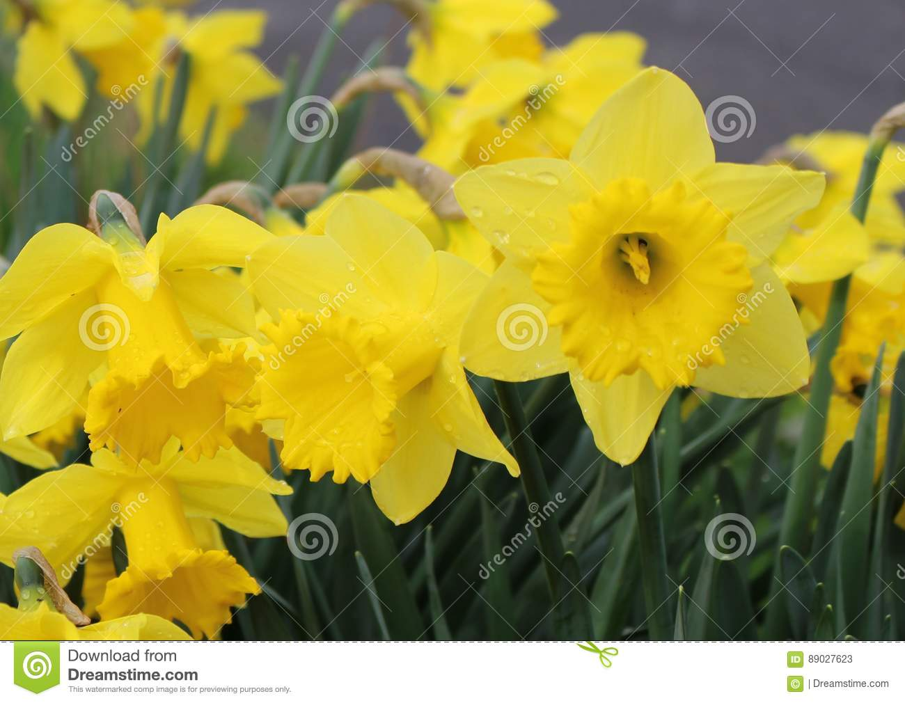 Dutch Master Daffodil Stock Image Image Of Flowers Strapshaped