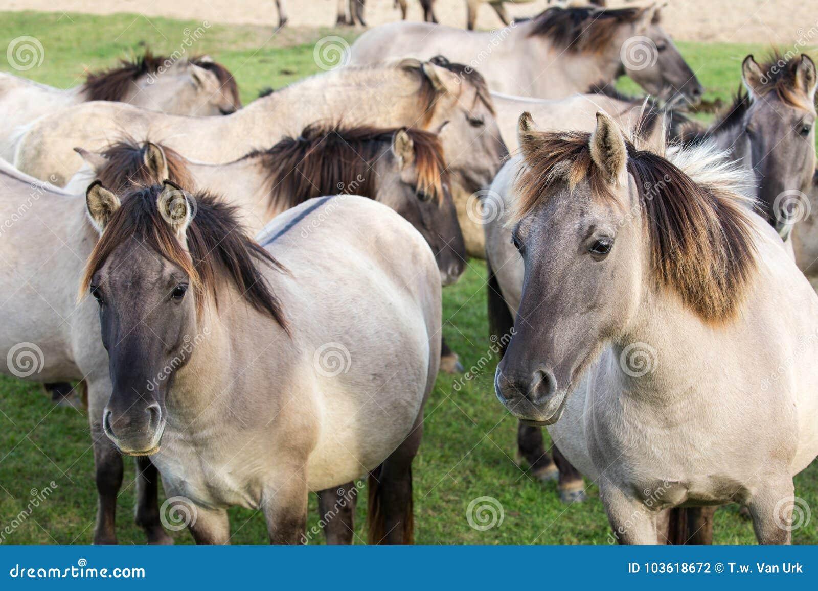 Dutch National Park Oostvaardersplassen with herd of konik horses