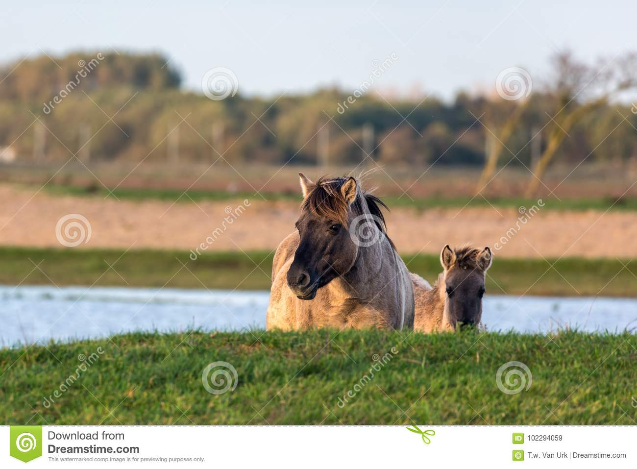 Dutch National Park Oostvaardersplassen with konik horse and foal
