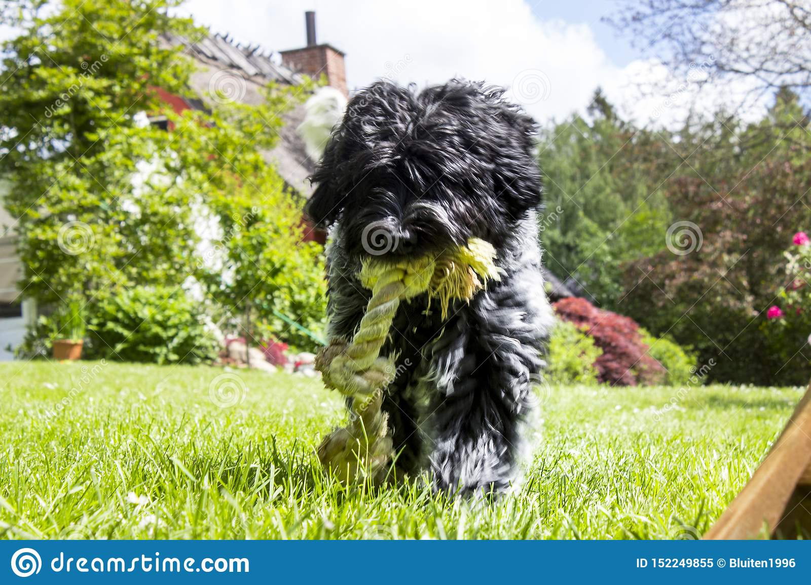 Schapendoes puppy walking towards screen with rope
